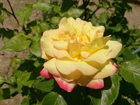 バラの花の通常撮影