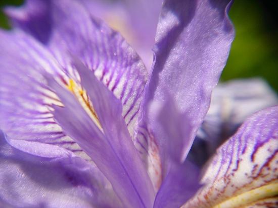 ヒメシャガの花のマクロレンズ撮影