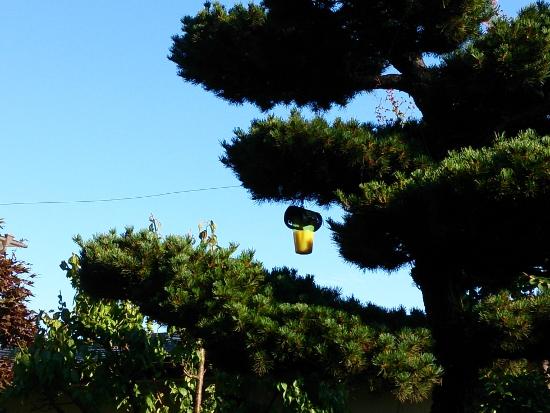 松の木につるした「ハチ激取れ」