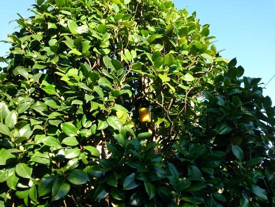 ツバキの木につるした「ハチ激取れ」