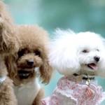 犬の散歩はドッグウェアで可愛らしくカッコよく!?